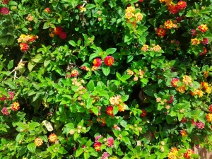 I don't know what this multi-coloured bush is but I want one!
